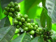 Зеленый кофе сжигает жир