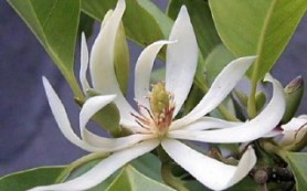 Сандаловое дерево и уход за кожей: несколько секретов из Индии