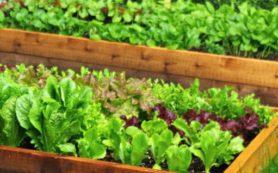 Такая вкусная и полезная салатная зелень
