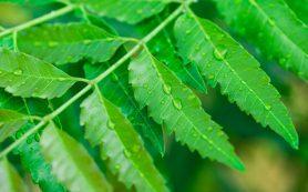 Листья нима помогут похудеть